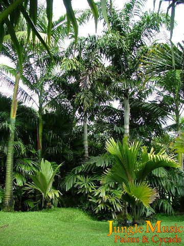 Tropical landscape emphasis on palm trees cycads and for Garden design with palms